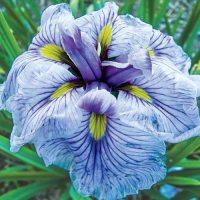 Japanese Iris Greywoods Catrina (Japanese) | K. van ...
