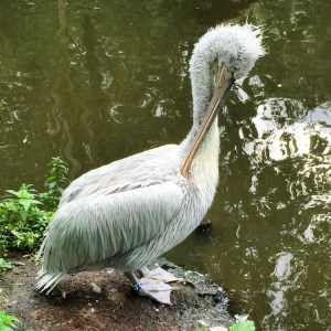 Pelican at the Rotterdam Zoo