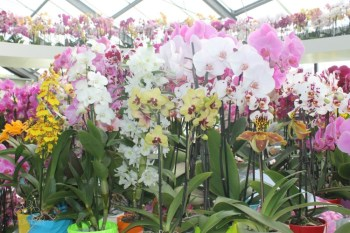 Orchids at Keukenhof