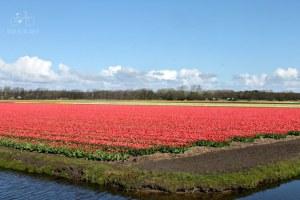 Red Tulips Flower Fields