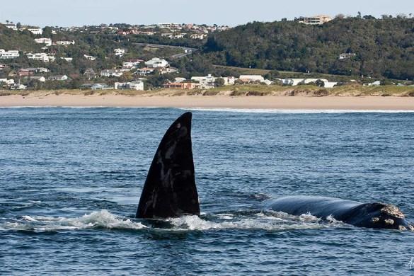 Walvissen spotten Zuid-Afrika