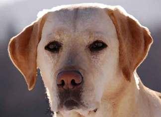 Populairste hond is de Labrador retriever