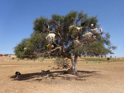 Geiten in arganboom