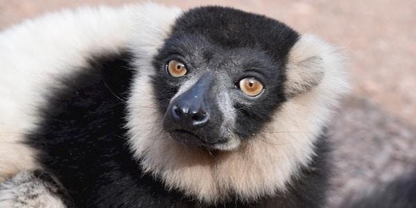 lemur uitsterven