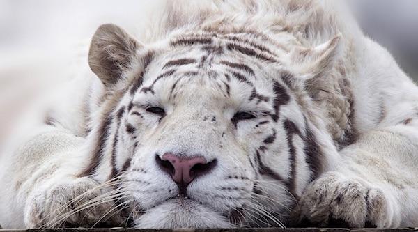 tijger living planet report