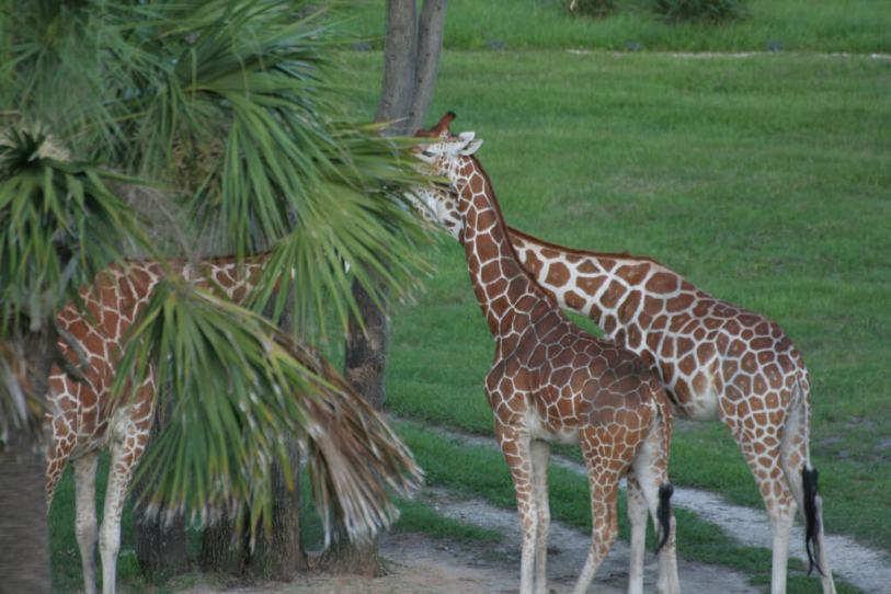 Giraffes at the Disney's Animal Kingdom Resort