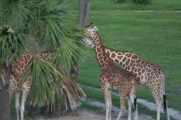 Giraffes at the Sunset Savannah