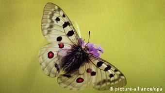 Η πεταλούδα Parnassius apollo