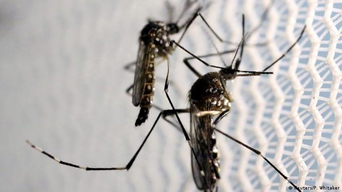 Moskitos Symbolbild ZIKA Virus (Reuters/P. Whitaker)