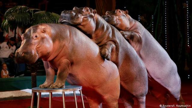 Чи можна назвати цих циркових гіпопотамів щасливими?