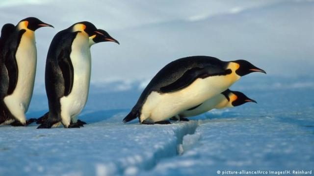 Emperor penguins. Photo credit: picture-alliance / Arco Images - H. Reinhard.