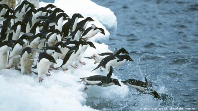 Adélie penguins. Photo credit: picture alliance / blickwinkel / E. Hummel.