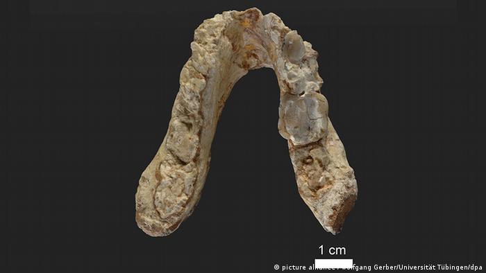 Der älteste Vormensch könnte aus Europa statt Afrika stammen (picture alliance / Wolfgang Gerber/Universität Tübingen/dpa)