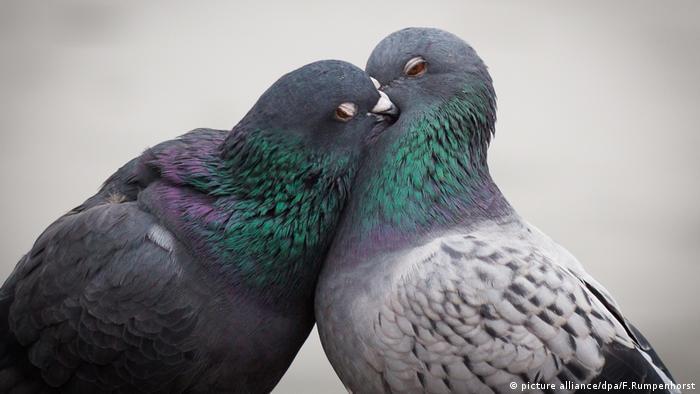 Tauben können etwas, das Menschen erst über einige Jahre entwickeln müssen: Sie gehören zu den wenigen Tieren, die sich selbst im Spiegel erkennen. Diese Art der Selbst-Erkenntnis gehört zu den wichtigsten Punkten, um intelligente von rein instinktiv handelnden Tieren zu unterscheiden.