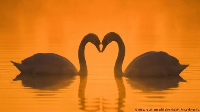 Swans (picture-alliance/blickwinkel/P. Frischknecht)