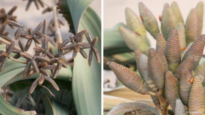 Welwitschia mirabilis, male plant (on the left) and female plant (on the right)
