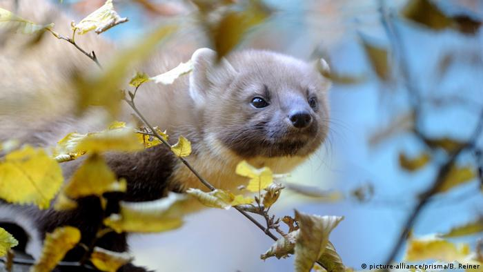 The pine marten was resettled by the British conservation project Back From the Brink in its old habitat