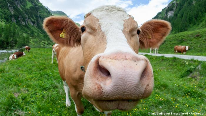 deadly cows prompt law