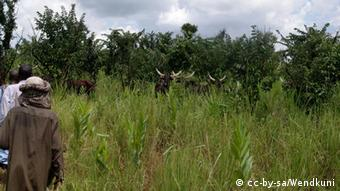 Mbororo people tend to cows on grasslands