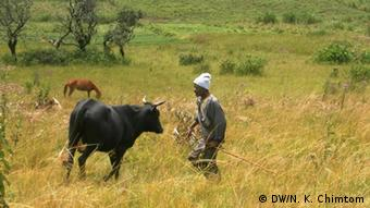 A Mbororo nomad tends to his cattle outside the village of Ndop