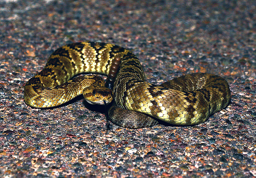 Black-tailed Rattlesnake. This is gonna hurt.