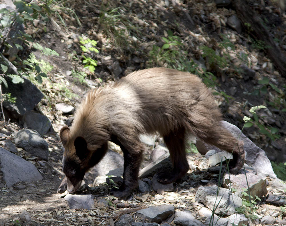 """Cinnamon"" black bear, Ramsey Canyon AZ, 6-15."
