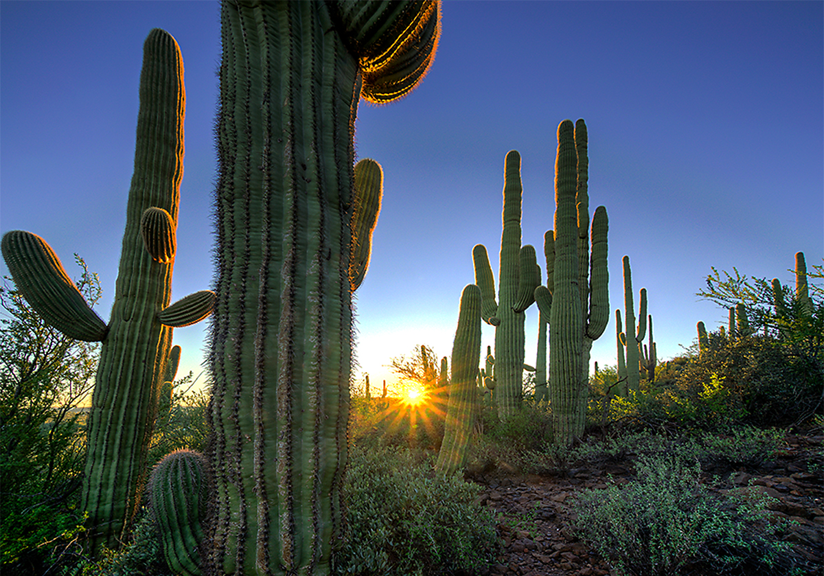 Saguaro forest near Black Canyon City, AZ.