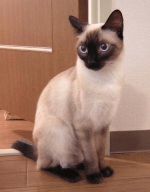 シャム猫におすすめなキャットフード人気ランキングBEST3【食いつきが良い安全で健康に良い餌】