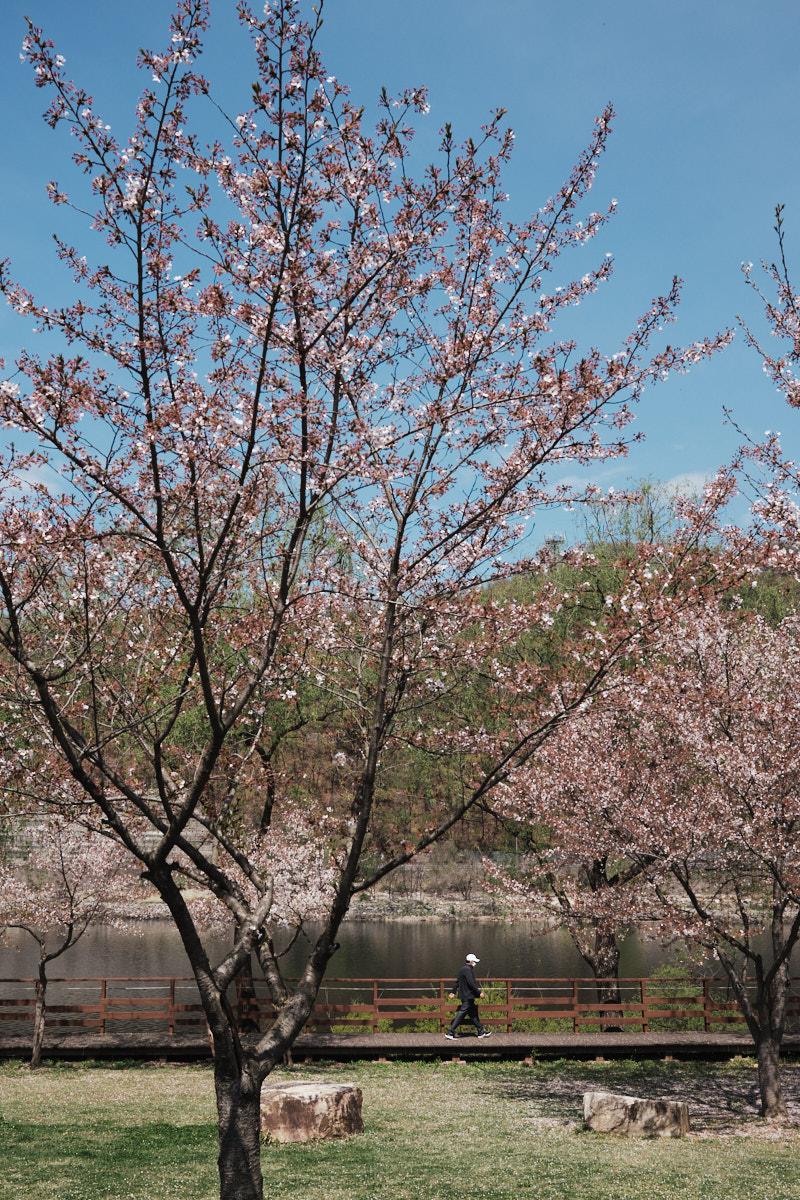 Daecheong Dam Cherry Blossoms