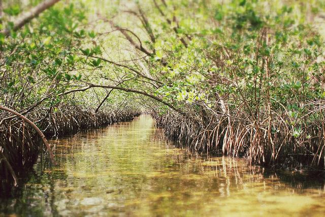 Weedon Island Mangroves
