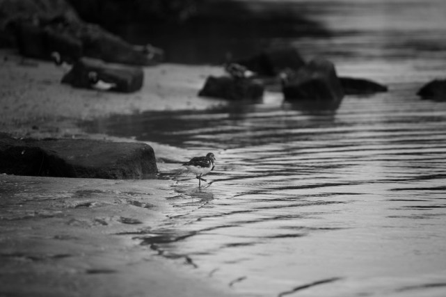 Turnstone on Shore