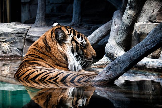 Tiger Insider
