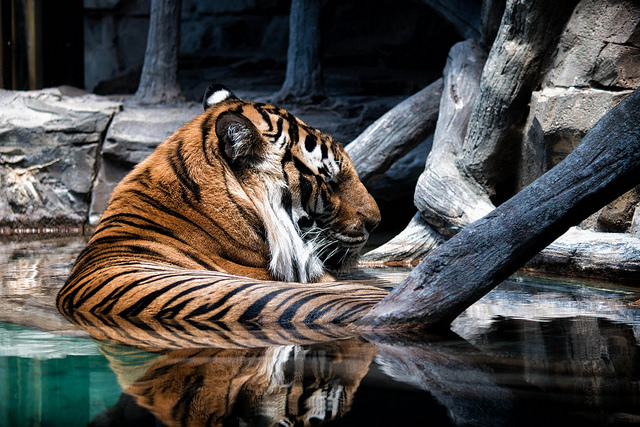 Tiger Napping in Water