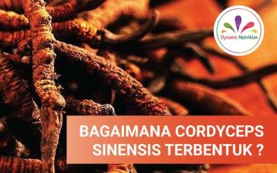 Bagaimanakah Cordyceps Sinensis terbentuk?