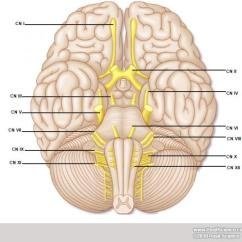 Unlabeled Skull Diagram Inferior View 99 Jeep Wrangler Stereo Wiring Free For You Brain Anatomy Image Gallery Dynamicbrain Of