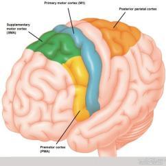 Human Brain Diagram Limbic System Drum Switch Wiring Bremas Reversible Ac Motor Anatomy Image Gallery - Dynamicbrain