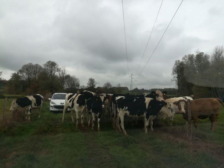 Notre 207 complètement entourée de vaches qui se sont échappées de leur champ !