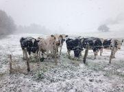 Les vaches, voisines curieuses, observent de nos relevés de terrain sous la neige dans la Veyre en Auvergne.