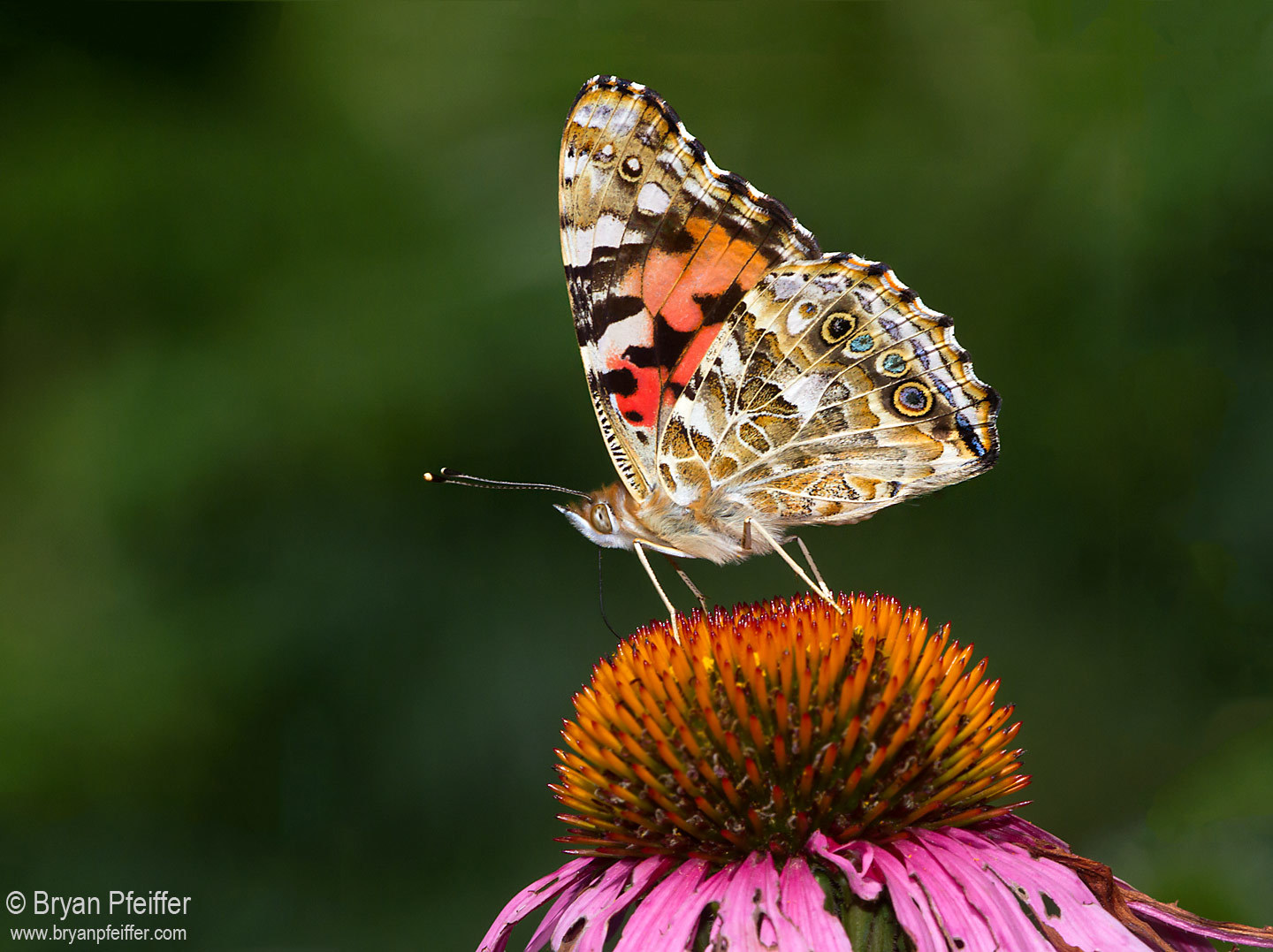 painted lady butterflies are