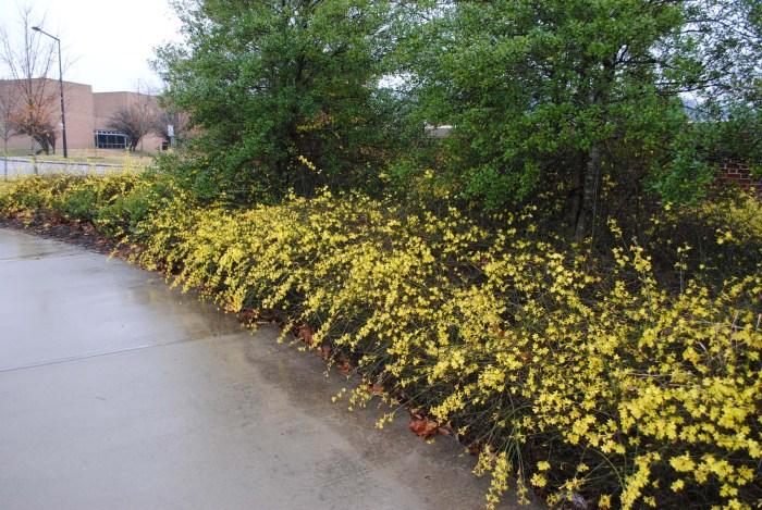 Plants We Love: Winter Jasmine