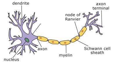 detailed neuron diagram wiring for hot water tank thermostats cybersurgeons draw and label the structure of a typical nerve cell