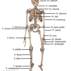 Human Skeleton And Muscles Diagram Blank Venn Word Document Cybersurgeons