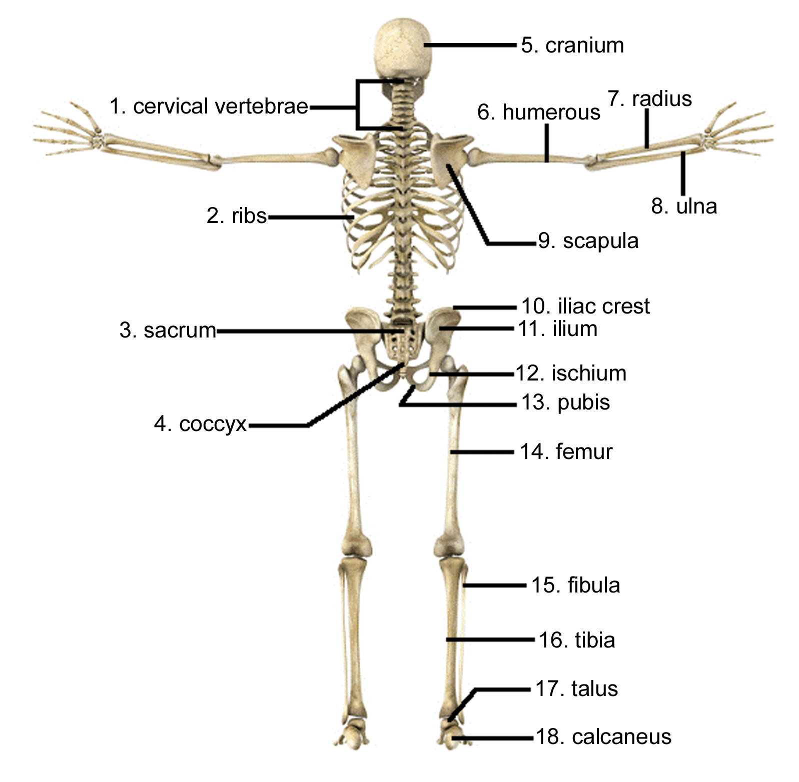 Skeleton Picture With All Bones Name