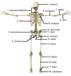 bone diagram back wiring diagram bone diagram back [ 1597 x 1564 Pixel ]