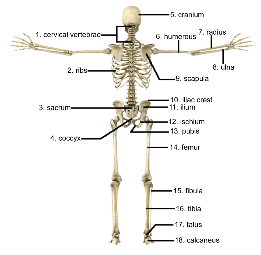 medium resolution of labelled diagram of hip bone
