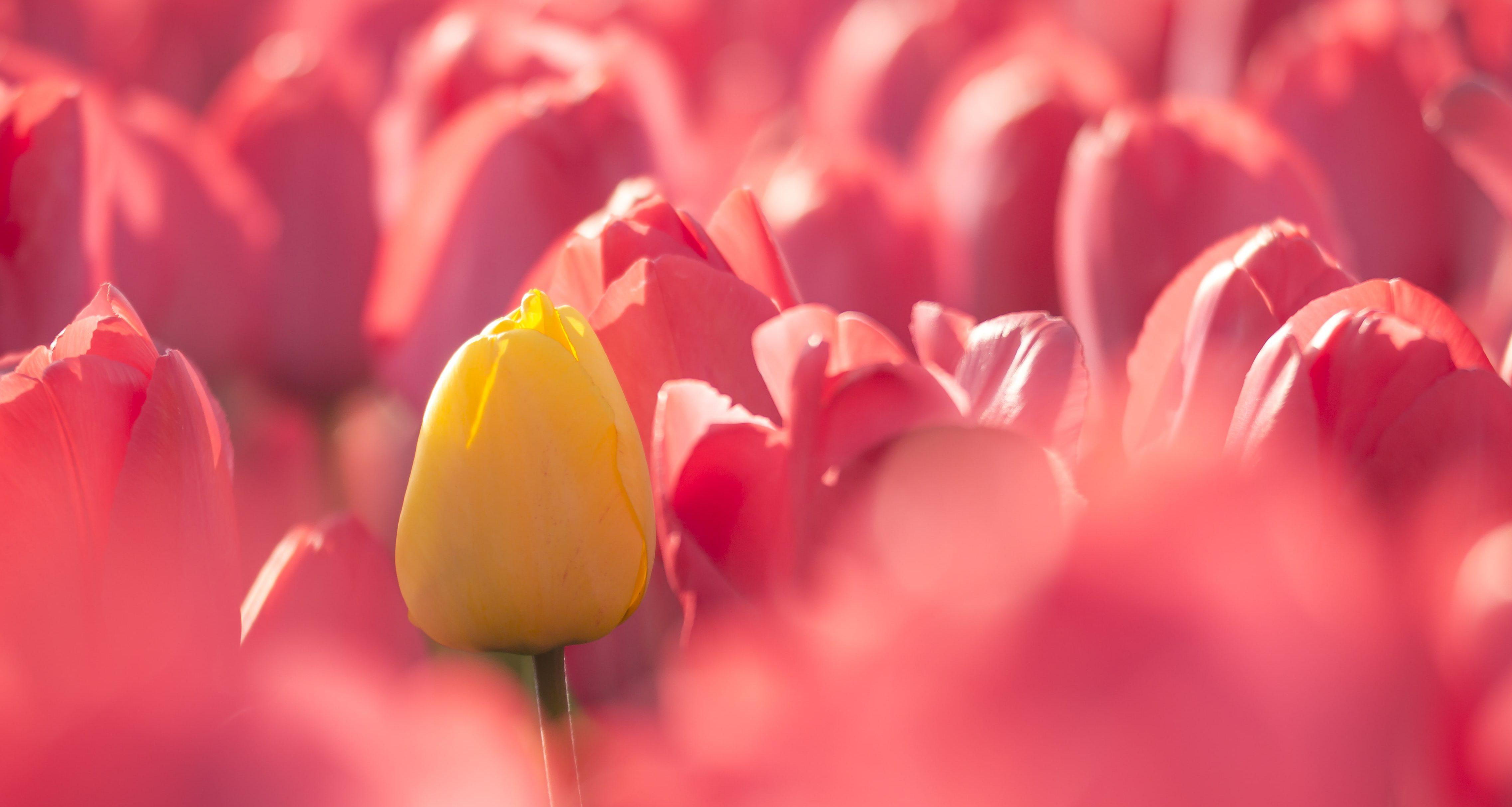 champ de tulipes roses et jaunes