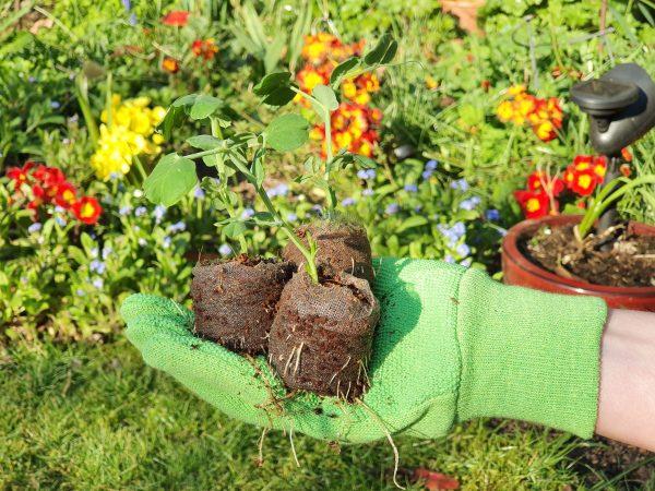 roots growing through e-pots 42mm coir pellets