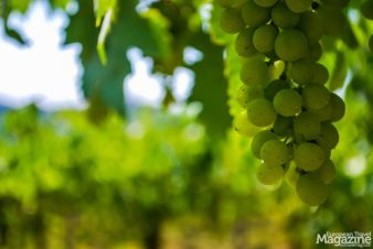 For a wine to retain the name of Chianti, it must be produced with at least 80% Sangiovese grapes