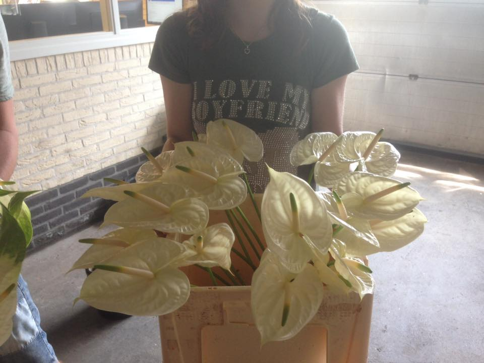 Anthurium Flowers Direct to Florist from Farm