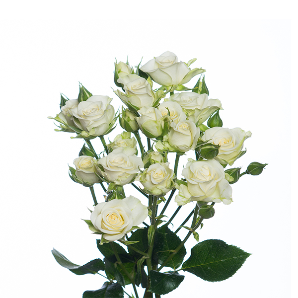 Snow Flake Spray Roses